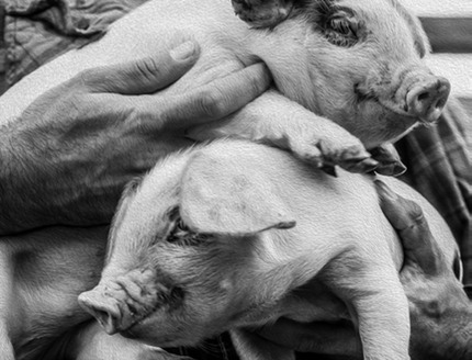 pigs in hands B&W